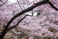 桜満開!高遠ライド3 - photophobia