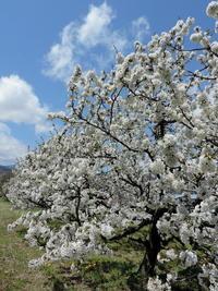 長野そぞろ歩き:桃の季節 - 日本庭園的生活