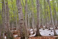 芽吹きの美人林 - 松之山の四季2