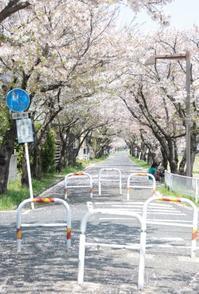 桜並木 - ちょこちょこ4