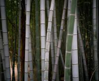 竹林 - BobのCamera