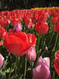 チューリップの開花状況@ひたち海浜公園 - うつわ愛好家 ふみの のブログ