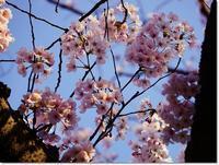 ◆4月前半・七分咲きの桜の花・・・困った睡眠障害(´A`;) - ☆彡ちいさな幸せ☆彡別館