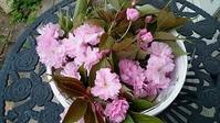 桜湯 - グリママの花日記