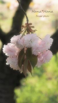 *桜* - HANA*HANA
