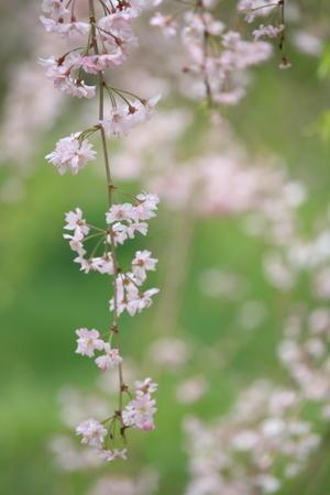 枝垂れ桜 - 優しさに包まれて