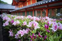 ツツジが咲き始めました - 伊佐爾波神社写真帳