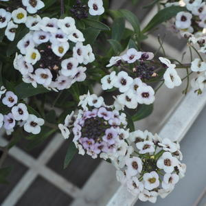 ホワイトの寄せ植え - sola og planta ハーブとお花のお庭日記
