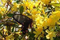 ジャコウアゲハ乱舞中!(#^.^#) - 手柄山温室植物園ブログ 『山の上から花だより』
