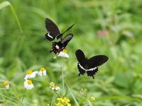 シロオビアゲハ - 風の翅