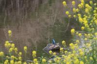 カワセミ - Sakuの野鳥フォトアルバム
