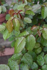 梨の花 - pottering