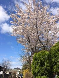 秋田の桜🌸 - 秋田 蕗だより