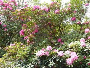 栽培見本農場赤塚シャクナゲガーデン - 和子花便り