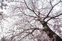 桜 ① - ひなりの いち♪ にっ♪ さ~んぽ♪