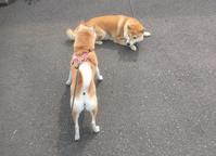 今朝のわん文字!? - 柴犬さくら、北国に生きる