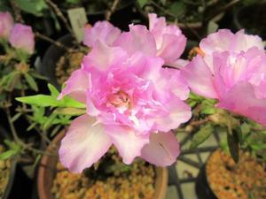 ツツジの花変わり~岩ツツジモチツツジ八重と変化咲き - 園芸のいのうえ屋