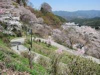 平成29年 吉野山の桜・・・ - 吉野山 吉野荘湯川屋 あたたかみのある宿 館主が語る