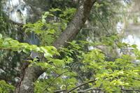 そろそろ【オナガ・シロハラ・カワラヒワ】 - 鳥観日和