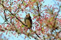 コムクドリ - ひげ親爺の探鳥日記