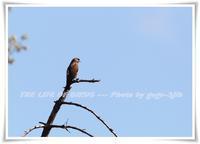サシバという呼び名は 「 まっすぐに飛ぶもの 」 という意味 - 野鳥つれづれ記