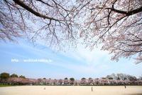 《花》 出羽公園の染井吉野 - 100-400ISの部屋
