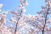 桜_2017 - 不完全なマル