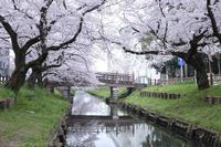 川越 新河岸川の桜並木 誉桜 2 - photograph3