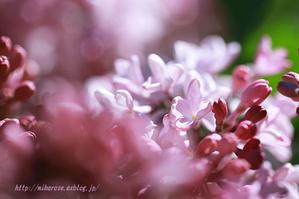 ライラックの花 - 季節の風を感じながら・・・