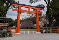 上賀茂神社の桜 - 鏡花水月