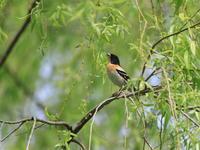 まだ居たアトリとツグミ - 『彩の国ピンボケ野鳥写真館』