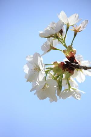 白い桜と青空 - ゆずちゃんは低空飛行