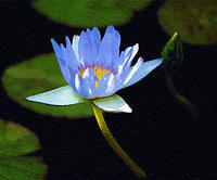 神代植物公園温室のスイレン3 - 光 塗人 の デジタル フォト グラフィック アート (DIGITAL PHOTOGRAPHIC ARTWORKS)