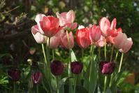 雨が降る前の庭事情その①・・・2番目に咲いたチューリップとリラなど - Reon&Roses+Lara