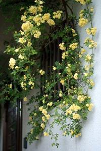 雨が降る前の庭事情その③・・・今年は花が少ないかも?黄モッコウバラ(4月23日~) - Reon&Roses+Lara