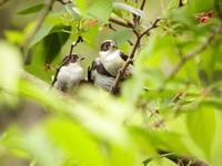 エナガの子供たち - 西多摩探鳥散歩