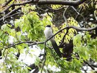 オナガが4羽、多摩平の森 - 西多摩探鳥散歩