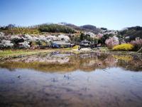 百花繚乱の花見山1 @福島県福島市 - 963-7837
