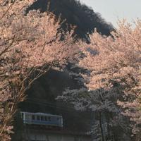 桜のトンネル - ゆる鉄旅情