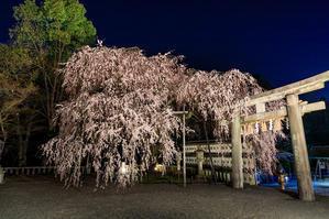 京都の桜2017 大石桜の朝と夜(大石神社) - 花景色-K.W.C. PhotoBlog