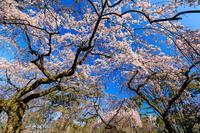 京都の桜2017 京都御苑 近衛邸跡の桜 - 花景色-K.W.C. PhotoBlog