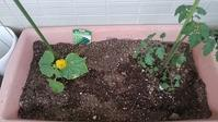 キュウリとトマト植えました - ヨモギ日記