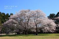 SAKURA*2017 その11(青空の下、桜とモンジロウ?) - FUNKY'S BLUE SKY