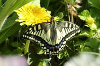 タンポポで吸蜜するキアゲハ、ひたち海浜公園のネモフィラ(千葉県松戸市・茨城県ひたちなか市、20170423) - Butterfly & Dragonfly