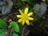 ツワブキが春に咲いた? カラス葉リュウキンカでした - 花追い日記