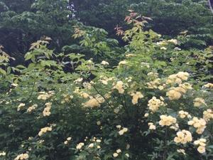 モッコウ薔薇 - 花伝からのメッセージ           http://www.kaden-symphony.com