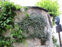 ツタバウンラン Cymbalaire des murs - フランス Bons vivants idees d'aujourd'hui