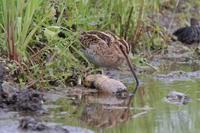 初モノ、ウズラシギ&ホウロクシギ ムナグロもたくさん - 野鳥写真日記 自分用アーカイブズ