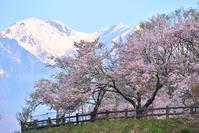 白い山と桜  長野県伊那谷 - 峰さんの山あるき