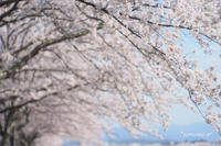 桜づつみ回廊@武庫川沿い〜2〜 - *PHOTOMOMIN*